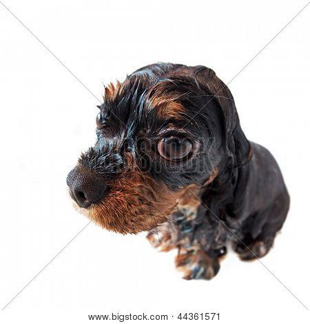 Tiro de ojo de pez de Marmaduke black and tan Cavalier King Charles spaniel pup tomando un baño. Perro mojado