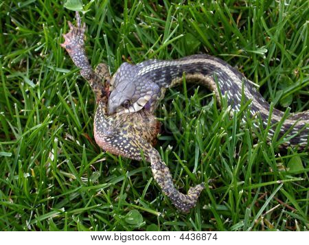 Garter Snake Eating A Toad