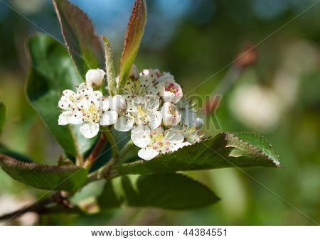 Flowering Chokeberry (aronia)