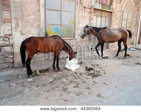 Cavalos cigano estão alimentando nas ruas