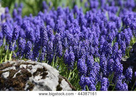 Muscari, Grape Hyacinth