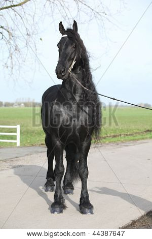 Gorgeous Friesian Stallion With Long Hair