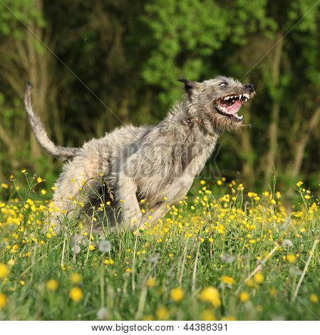 Irish Wolfhound Smiling And Running In Yellow Flowers
