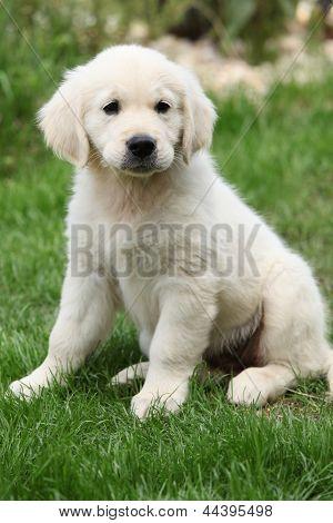 Golden Retriever Puppy Sitting On The Grass