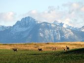 picture of beartooth  - Mule Deer in the shadows of the Absaroka-Beartooth Mountain Range 