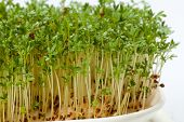 foto of alfalfa  - Fresh alfalfa sprouts and cress on white background - JPG