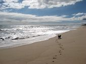 stock photo of paw-print  - Huxley the staffordshire bull terrier enjoys an evening walk by the ocean