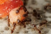 picture of formica  - Communicate group of ants on piece of meat - JPG
