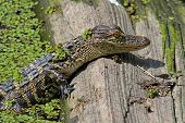 Baby American Alligator Basking In The Sun