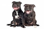 stock photo of staffordshire-terrier  - two staffordshire bull terrier dogs together on white - JPG