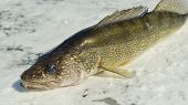 picture of ice fishing  - Large Walleye caught ice fishing in Northern Minnesota - JPG