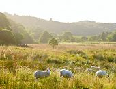 stock photo of animal husbandry  - Sheeps at a pasture in Scotland - JPG