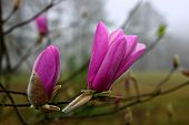 pic of japanese magnolia  - A japanese magnolia bud and bloom - JPG