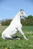 foto of lipizzaner  - Super white sitting horse in nature in front of some trees - JPG
