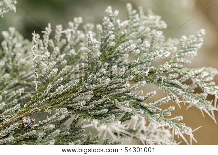 Hoarfrost On Thuja Twig