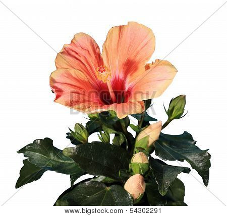 Blooming Orange Hibiscus Flower On The White Background