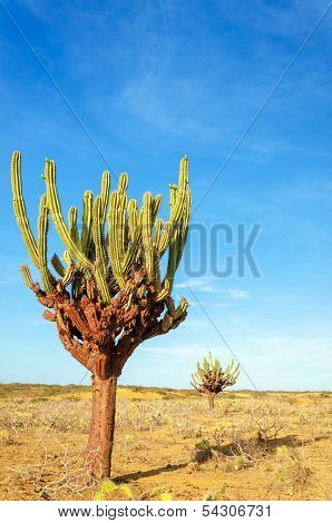 Two Cactuses