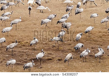 Cranes And Swans