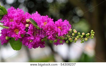 Lagerstroemia Speciosa Or Jarul Flower