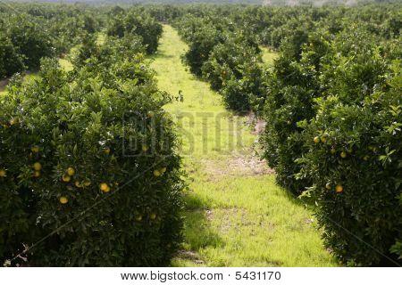 Orange Tree Field In A Row