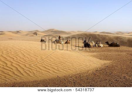 Dromedaries Among Sand Dunes, Morocco.