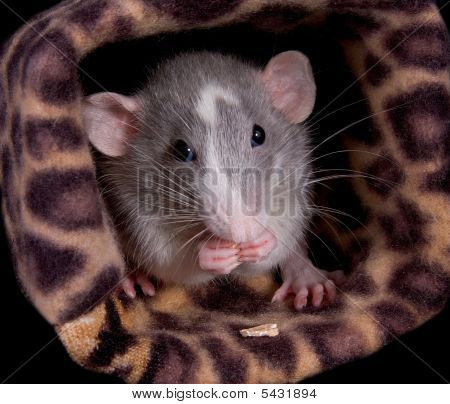 Munching Dumo Rat
