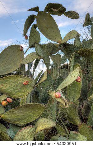 Tzabar Cactus