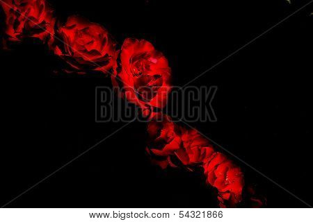 red roses in black background