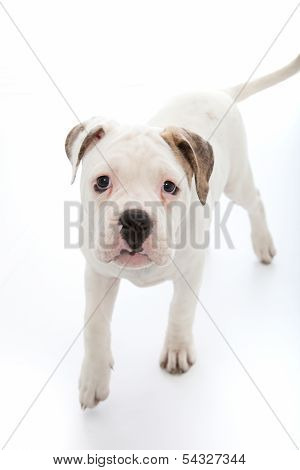 Adorable Little Dog With Sad Droopy Eyes