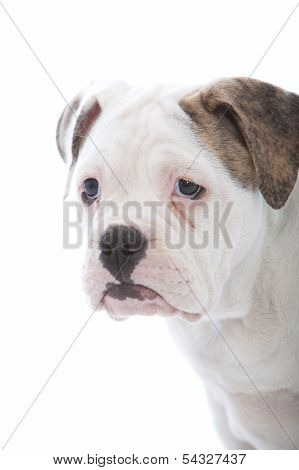 Head Portrait Of A Wrinkled White Dog