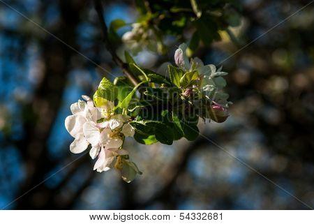 Apple trees blossom