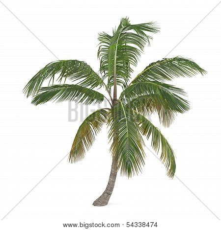 Coco palm tree isolated. Cocos nucifera