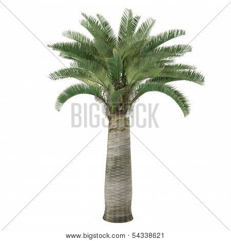 Palm tree isolated. Jubaea chilensis
