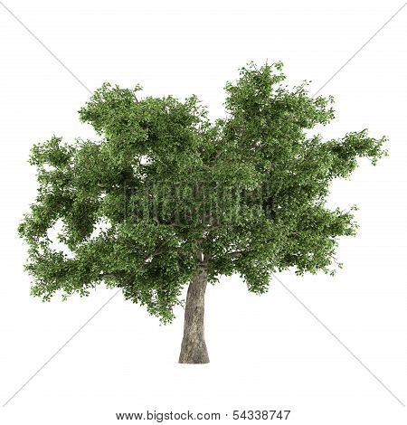 Tree isolated. Quercus top