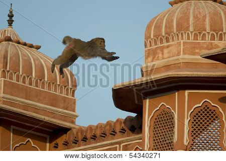 Rhesus Macaque Jumping On The Roofs Of Jaipur