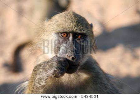 Baboon Looking You In The Eye