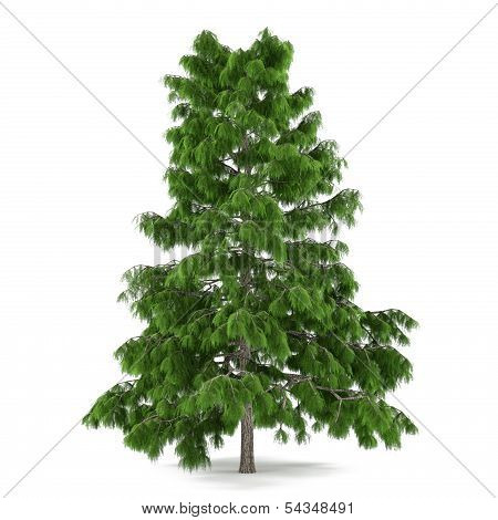 Tree pine isolated. Cedrus deodara