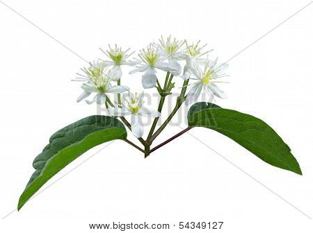 Male Virgin's Bower Wildflower