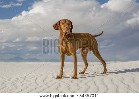 Male Vizsla Dog Outdoors