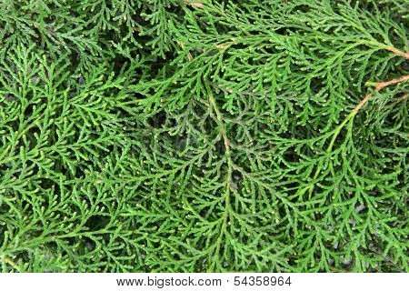 Thuja branches close-up
