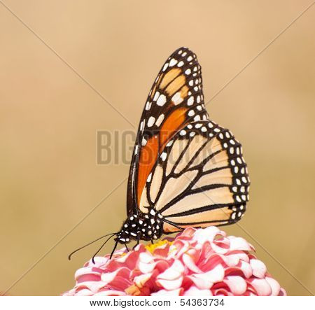 Beautiful Monarch butterfly, Danaus plexippus, feeding on a light pink Zinnia flower