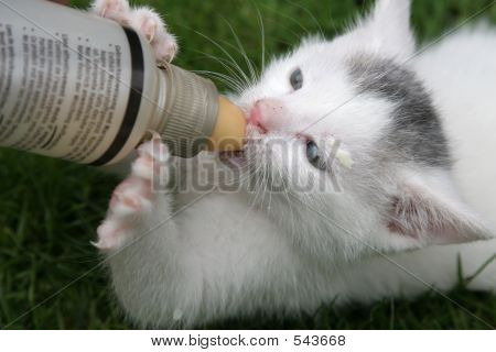 Kitten Being Fed With Bottle