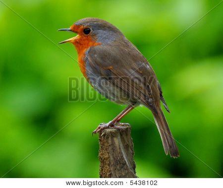 Robin cantando