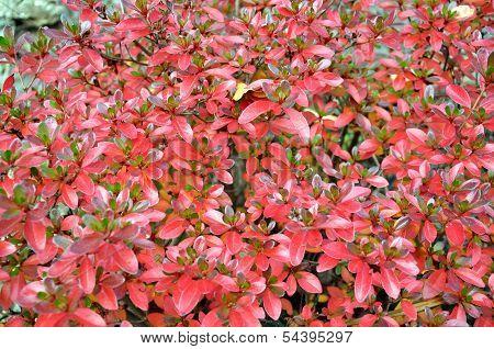 Red Azalea Leaves