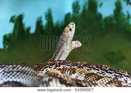 Florida Pine Snake With Mouth Open
