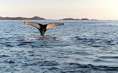 pic of whale-tail  - Tail of whale diving taken just ousite Nuuk city in greenland - JPG