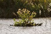 image of snipe  - Snipe hiding on an island in a lake r - JPG