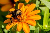 stock photo of bumble bee  - Closeup of a Bumble Bee Feeding on the Nectar of Orange Flowers with Orange Stamens  - JPG