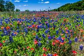 stock photo of bluebonnets  - Beautiful Field Blanketed with the Famous Bright Blue Texas Bluebonnet  - JPG