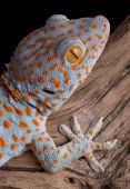 picture of tokay gecko  - A tokay gecko is shown on driftwood - JPG